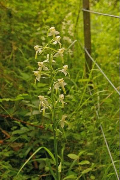 Hochstetter-orchid