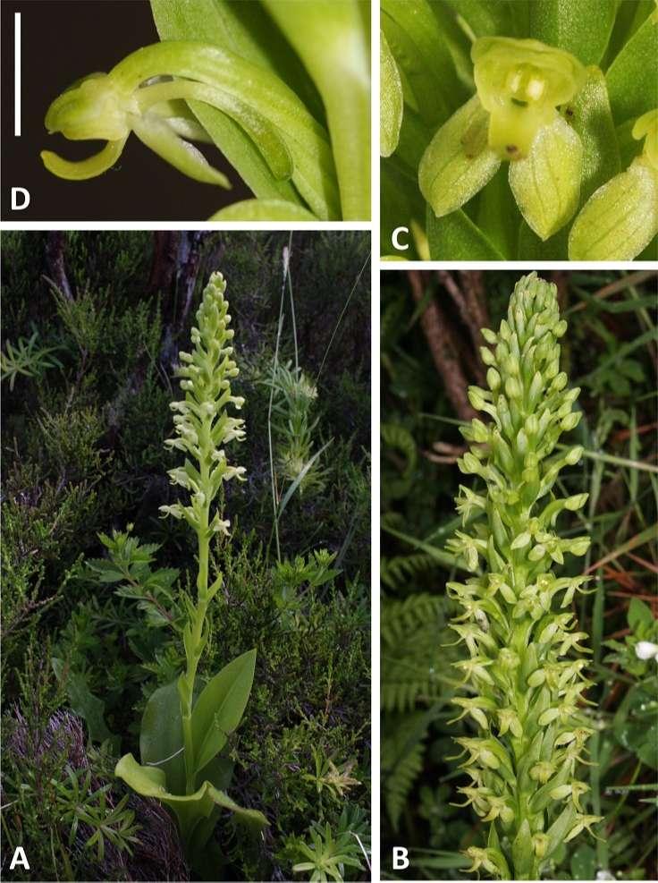 Thú nuôi, cây cảnh: Hướng dẫn trồng lan phi điệp ra hoa với các bước đơn giản Hochstetters-butterfly-orchid
