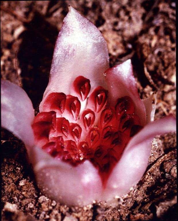 Western-Underground-Orchid