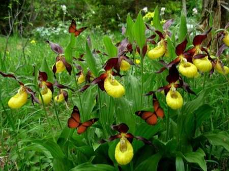 Yellow-and-Purple-Lady-Slippers