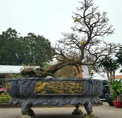 bonsai bạt phong hồi đầu đẹp