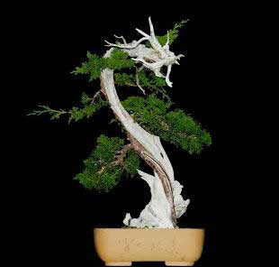 bonsai đẹp thế long thăng