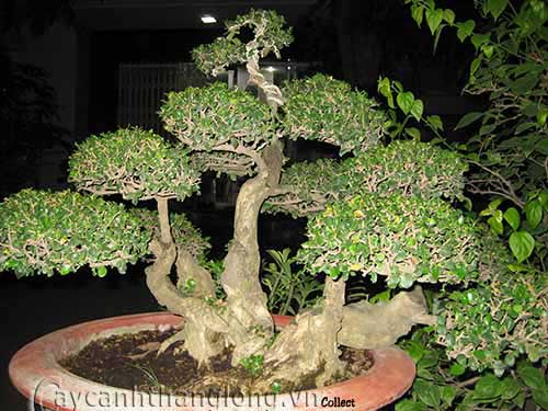 bonsai đẹp thế ngũ thân