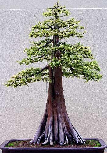 bonsai đẹp thế trực quân tử