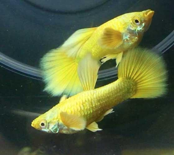 cá 7 màu full gold