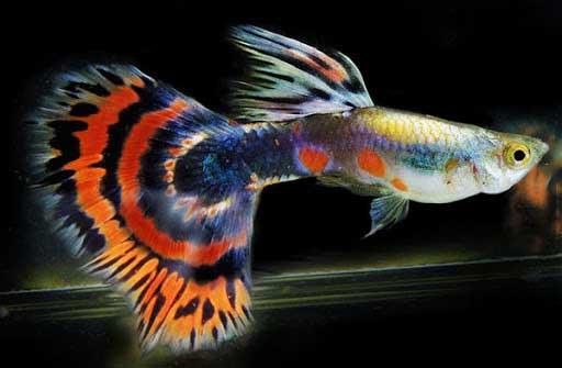 cá 7 màu mỹ