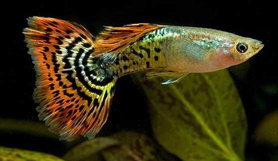 cá 7 màu rồng