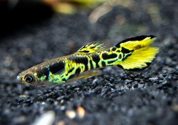 cá 7 màu tiger