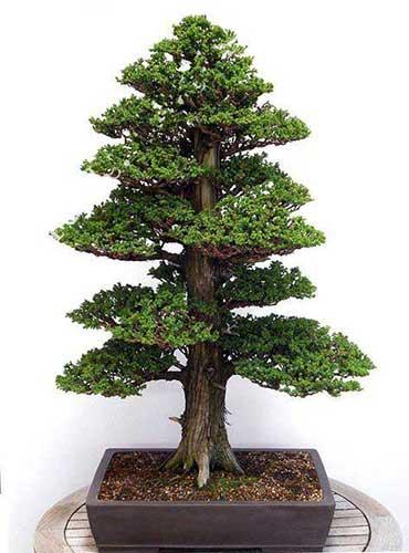 các thế bonsai đẹp tùng thập