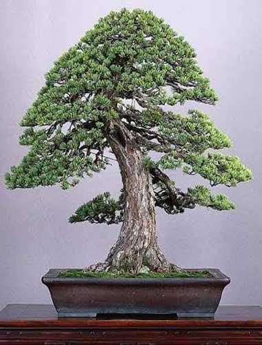 các thế bonsai quân tử