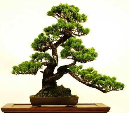 các thế bonsai thân đôi