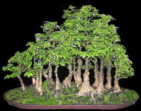 thế cây bonsai rừng xanh
