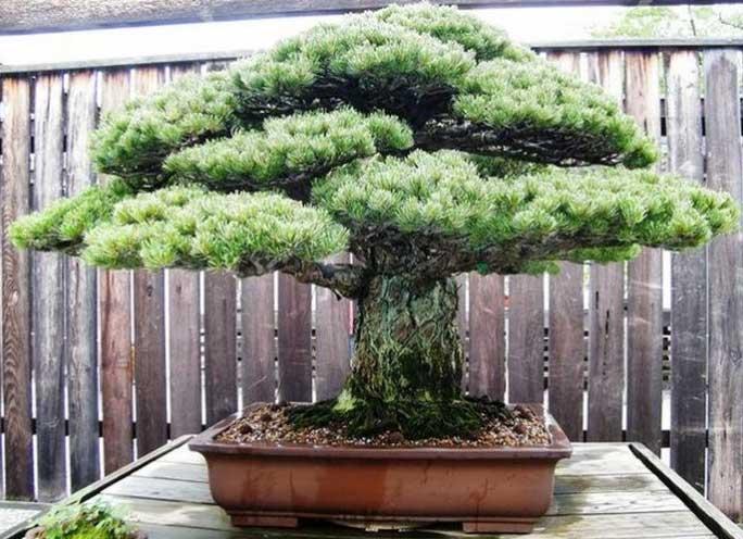 cây bonsai dáng nhất trụ kình thiên