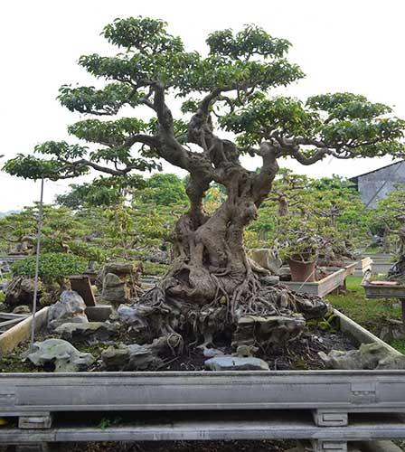 cây sanh thế huynh đệ đẹp