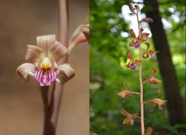 Thú nuôi, cây cảnh: Hướng dẫn trồng lan phi điệp ra hoa với các bước đơn giản Coleman%E2%80%99s%20coralroot-3
