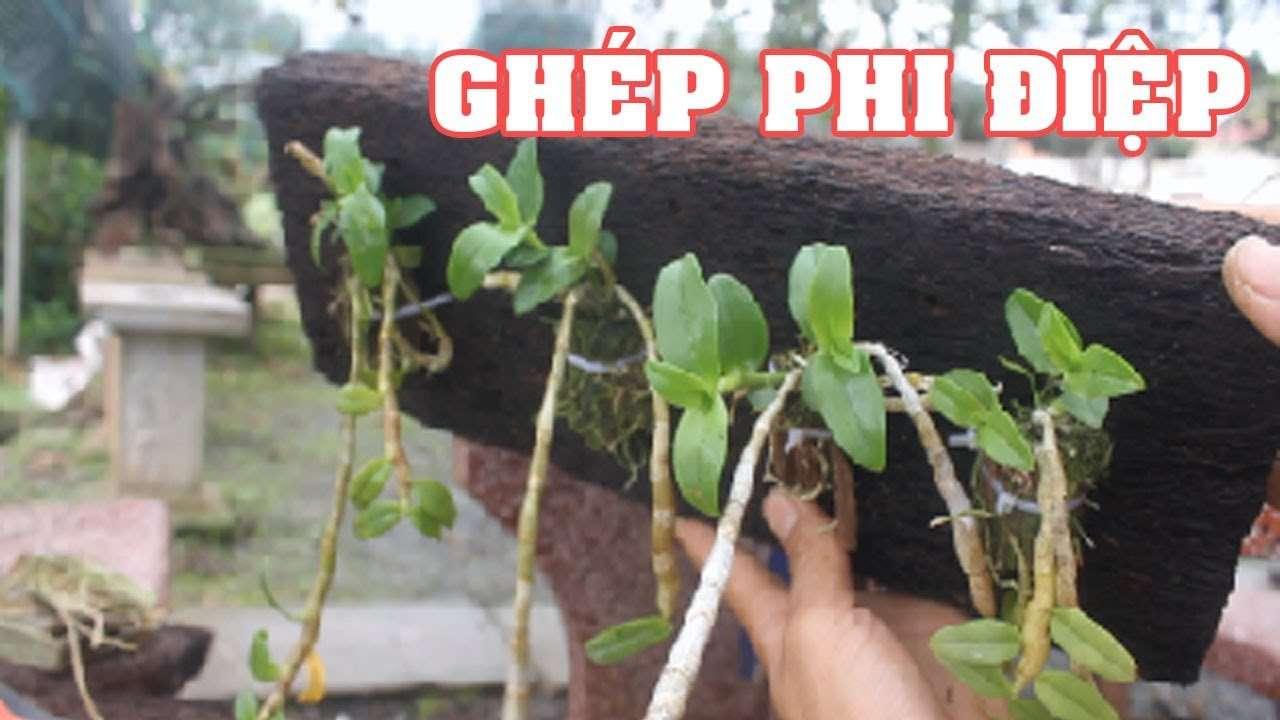 Thú nuôi, cây cảnh: Hướng dẫn trồng lan phi điệp ra hoa với các bước đơn giản Don-ghep-phi-diep
