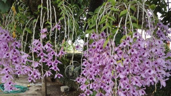 Thú nuôi, cây cảnh: Hướng dẫn trồng lan phi điệp ra hoa với các bước đơn giản Lan-phi-diep-tim