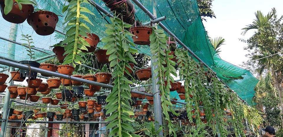 Thú nuôi, cây cảnh: Hướng dẫn trồng lan phi điệp ra hoa với các bước đơn giản Lan-trong-chau