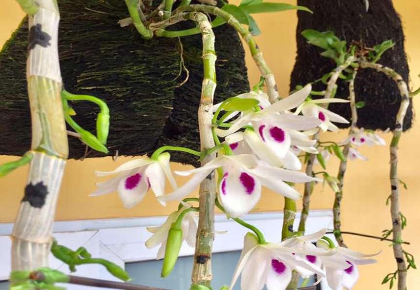 Thú nuôi, cây cảnh: Hướng dẫn trồng lan phi điệp ra hoa với các bước đơn giản Lan-truong-thanh