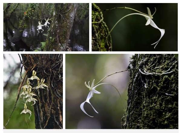 Thú nuôi, cây cảnh: Hướng dẫn trồng lan phi điệp ra hoa với các bước đơn giản Phong-lan-ma
