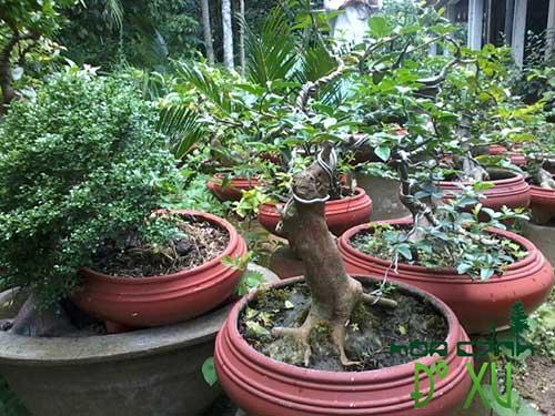 thất hiền thế bonsai đẹp