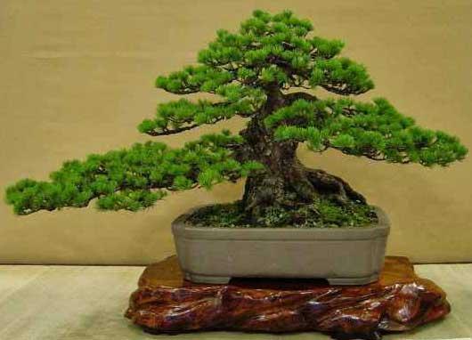 thất hiền thế bonsai