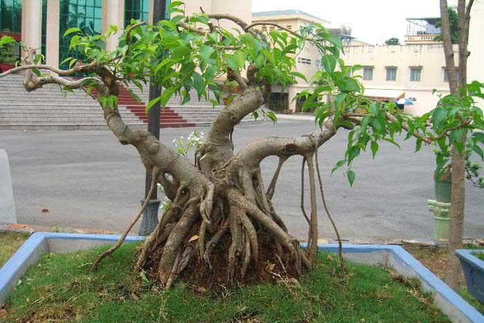 thế cây sanh tam đa