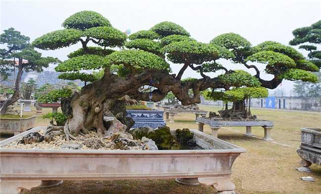 thế bonsai long đàn phượng vũ đẹp