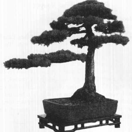 thế thanh tùng tụng bonsai