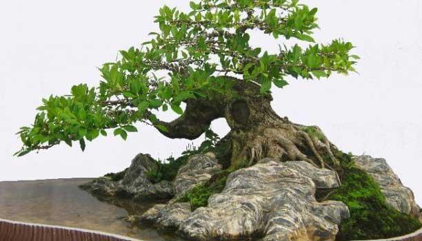 thế cây trôi biển bonsai đẹp